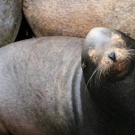 Smile'n Sealion by Bill Waterman - Animals Other Mammals ( water, bayfront, ocean, ocean view, mammal,  )