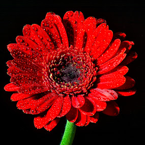 Red On Black by Darrell Evans - Flowers Single Flower ( red, petals, stem, waterdrops, black, flower,  )
