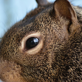Extreme Close-Up by Ed Hanson - Animals Other ( fuzzy, squirrel, eye, close, profile )