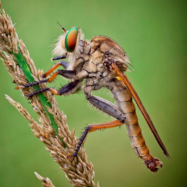 My Pose.. by Vincent Sinaga - Animals Insects & Spiders ( hunter, pose, detail, insect, robberfly )