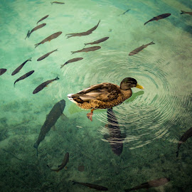 by Just  Derek - Novices Only Wildlife ( water, aquatic, fish, duck, birds,  )