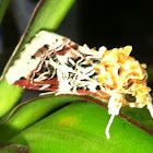 Lily Caterpillar Moth or Crinum Moth