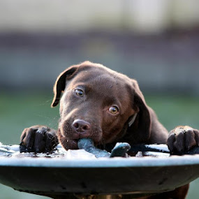 Raiding the bird bath by Helen Matten - Animals - Dogs Playing ( bird, playing, cheeky, chocolate, ice, bath, dog, labrador, stealing, , #GARYFONGPETS, #SHOWUSYOURPETS )