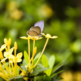 butterfly by Eddy Ahmad - Animals Insects & Spiders ( canon, blogger, kbba, gengbalairaya, kl )