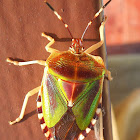 Mattiphus Shield Bug