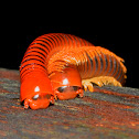 Red Millipedes