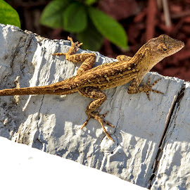 Chillin' by Patricia Rich - Animals Reptiles ( lizard, nature, beach, reptile, closeup )
