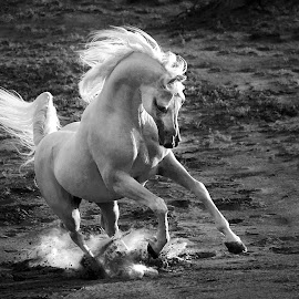 by Joseph Antony - Animals Horses