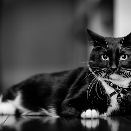 Boots by Jason Zollan - Animals - Cats Portraits ( black and white cat, cat, black and white, cat portrait, kitty, boots, domestic cat )