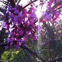 Eastern Redbud or Texas Redbud