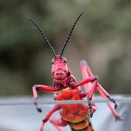 Well hello there by Maresa Sinclair - Animals Insects & Spiders ( grashopper common milkweed red yellow black )