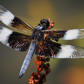 Cleared for take-off by Barbara Langfeld - Animals Insects & Spiders ( animals, arboretum, dragonfly, insects, close-up )