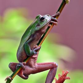 Kodok ijo by Sigit Purnomo - Animals Amphibians (  )