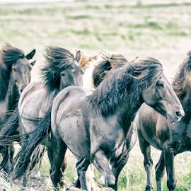Icelandic horses by Erik Kunddahl - Animals Horses ( iceland, equine, horses, equstrian, nikon )