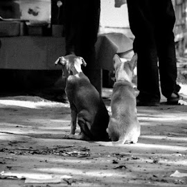 Waiting  by Enamul Kabir Rony - Animals - Dogs Puppies