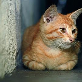 by Shafik Anuar - Animals - Cats Portraits