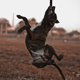 Pit Bull playing by Ивайло Цветанов - Animals - Dogs Playing ( playing, pitbull, pit bull, dog, bulgaria )