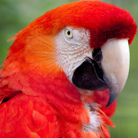 Scarlet Macaw by Jamie Cournoyer - Animals Birds ( aviary, bird, macaw )