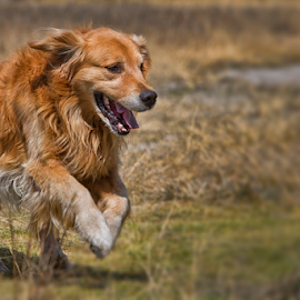 Golden Retriever by Cristobal Garciaferro Rubio - Animals - Dogs Running