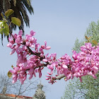 Judas Tree,Árvore de Judas