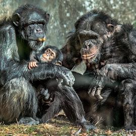 Chimpanzee Family by Carol Plummer - Animals Other Mammals ( mammals, chimpanzee, animals, zoo, family, baby )