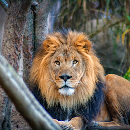 Meet Thabo by Kenneth Martin - Animals Lions, Tigers & Big Cats ( big cat, predator, lion, african lion, simba, memphis zoo, thabo )