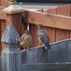 American robins, juvenile