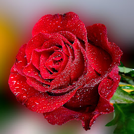 Gentle red rose by Biljana Nikolic - Flowers Single Flower (  )