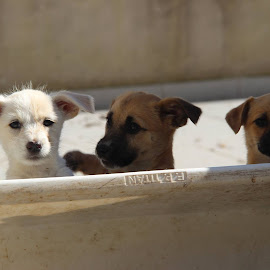 by Albino Olim - Animals - Dogs Puppies