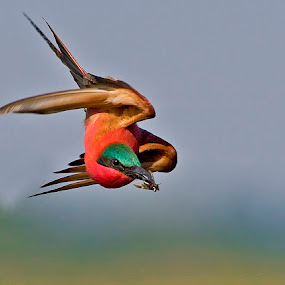 carmine beeeater by Jan Fourie - Animals Birds