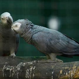 African Grey Parrot by Pavithra Sridharan - Animals Birds ( #zoo, #pavisridhar, #jijamataudayan, #photography, #parrot, #mumbai )