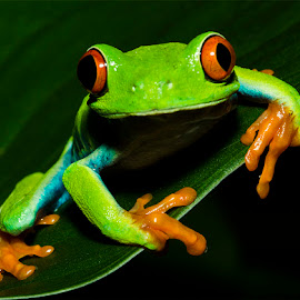 Red eye tree frog edge by Lisa Coletto - Animals Amphibians ( frog, tree frog, amphibian, multicolored,  )
