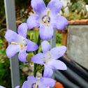 Chimney Bell Flower