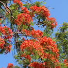 Royal Poinciana/Flamboyant