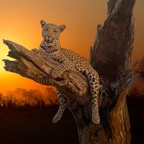 Leopard Sunset 6305 by Karen Celella - Animals Lions, Tigers & Big Cats ( wild, botswana, sunset, safari, wildlife, africa, leopard,  )