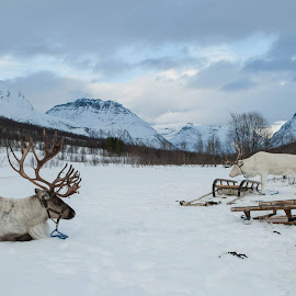 Tromso - Laponia by Mauricio Soares - Animals Other Mammals