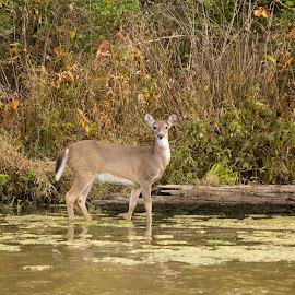 Wading Whitetail 1 by Gretchen Steele - Animals Other Mammals ( animals, fawn in water, fawn, deer )