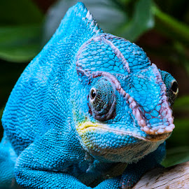 by Lisa Coletto - Animals Reptiles ( lizard, camelion, blue, reptile )