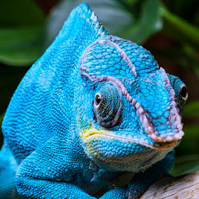 by Lisa Coletto - Animals Reptiles ( lizard, camelion, blue, reptile,  )