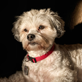 Louie the LaChon by Alan Roseman - Animals - Dogs Portraits ( bichon, shelter dog, pet, bichon frise, mans best friend, pets, rescue, lachon, loyalty, lhasa, lhasa apso )