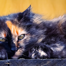 Relaxing by Sue Delia - Animals - Cats Portraits ( cat, relaxing, calico cat,  )