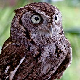 Screech Owl by Sandy Scott - Animals Birds ( birds of prey, screech owl, owl, birds, raptors,  )