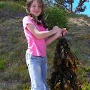 Bladder kelp