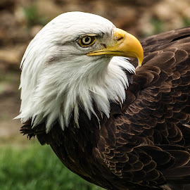 Bald Eagle by Garry Chisholm - Animals Birds ( bird, garry chisholm, eagle, nature, wildlife, prey, raptor, bald )