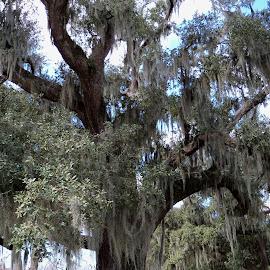 tall old live oak by Susan Hofer - Nature Up Close Trees & Bushes