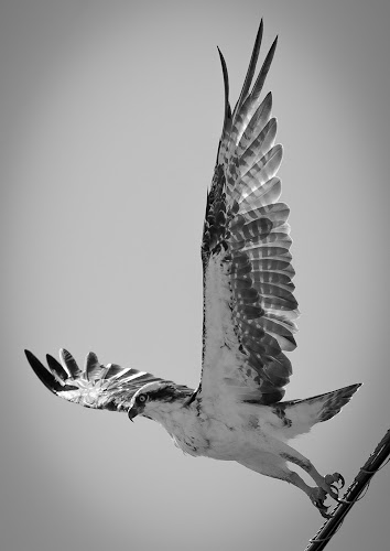 Free Fall by Jared Lantzman - Black & White Animals ( bird, sea hawk, birds, hawk,  )