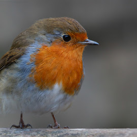 Little Robin by Gary Fox - Animals Birds ( bird, robin )