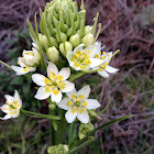 Common Star Lily