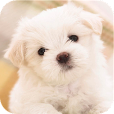 Pet Dog Wallpaper