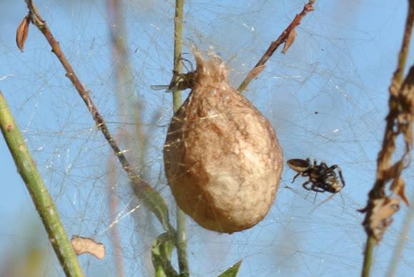 Egg sack of black and yellow garden spider project noah for Garden spider egg sac